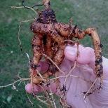 Mandrake root, Sep. '16