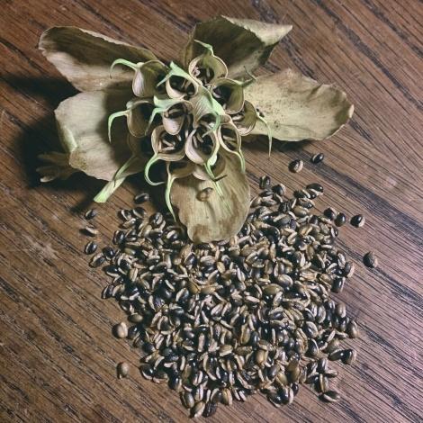 Fresh Helleborus niger seeds