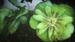 Hellborus orientalis